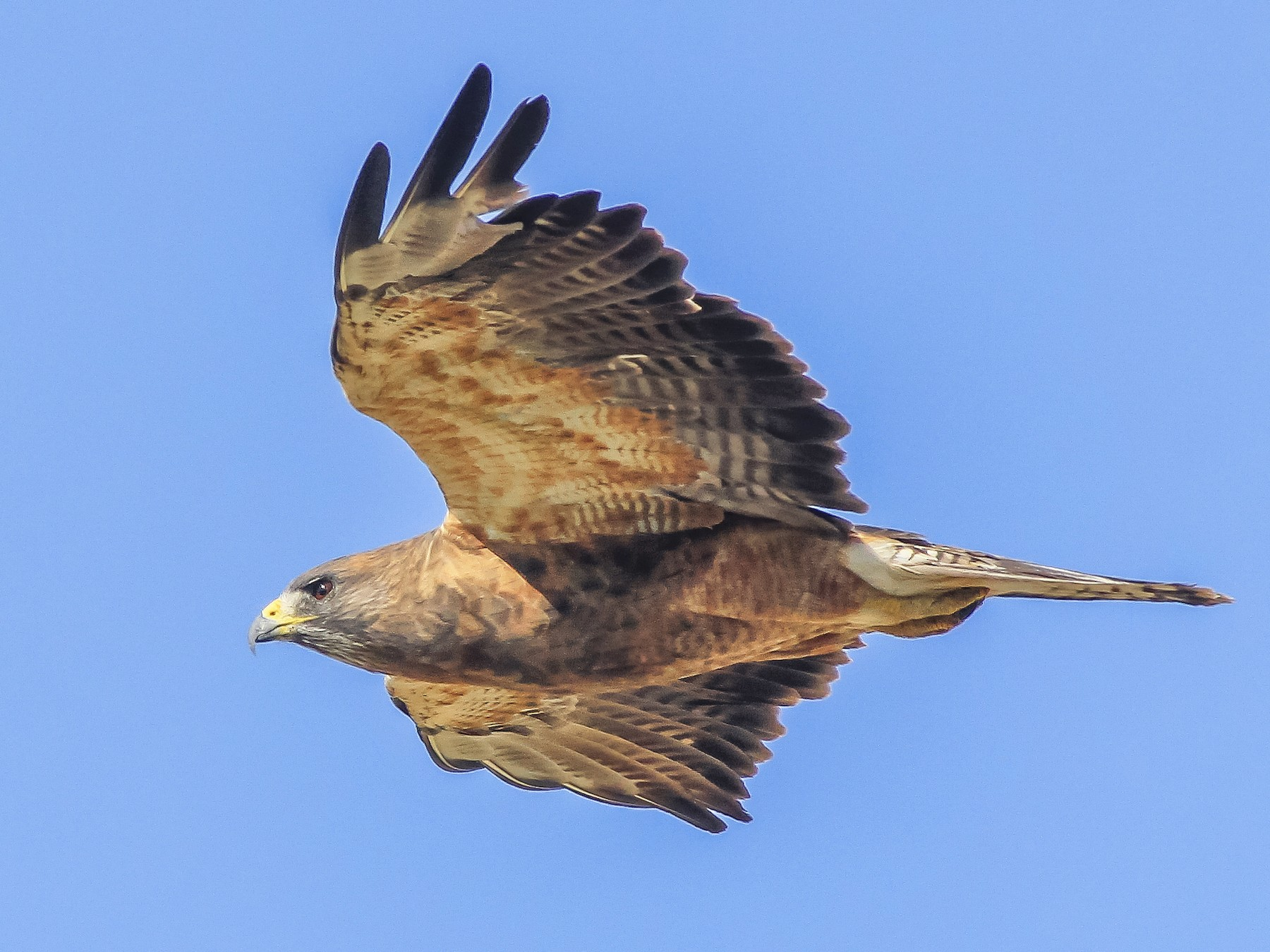 Swainson's Hawk - Matthew Pendleton