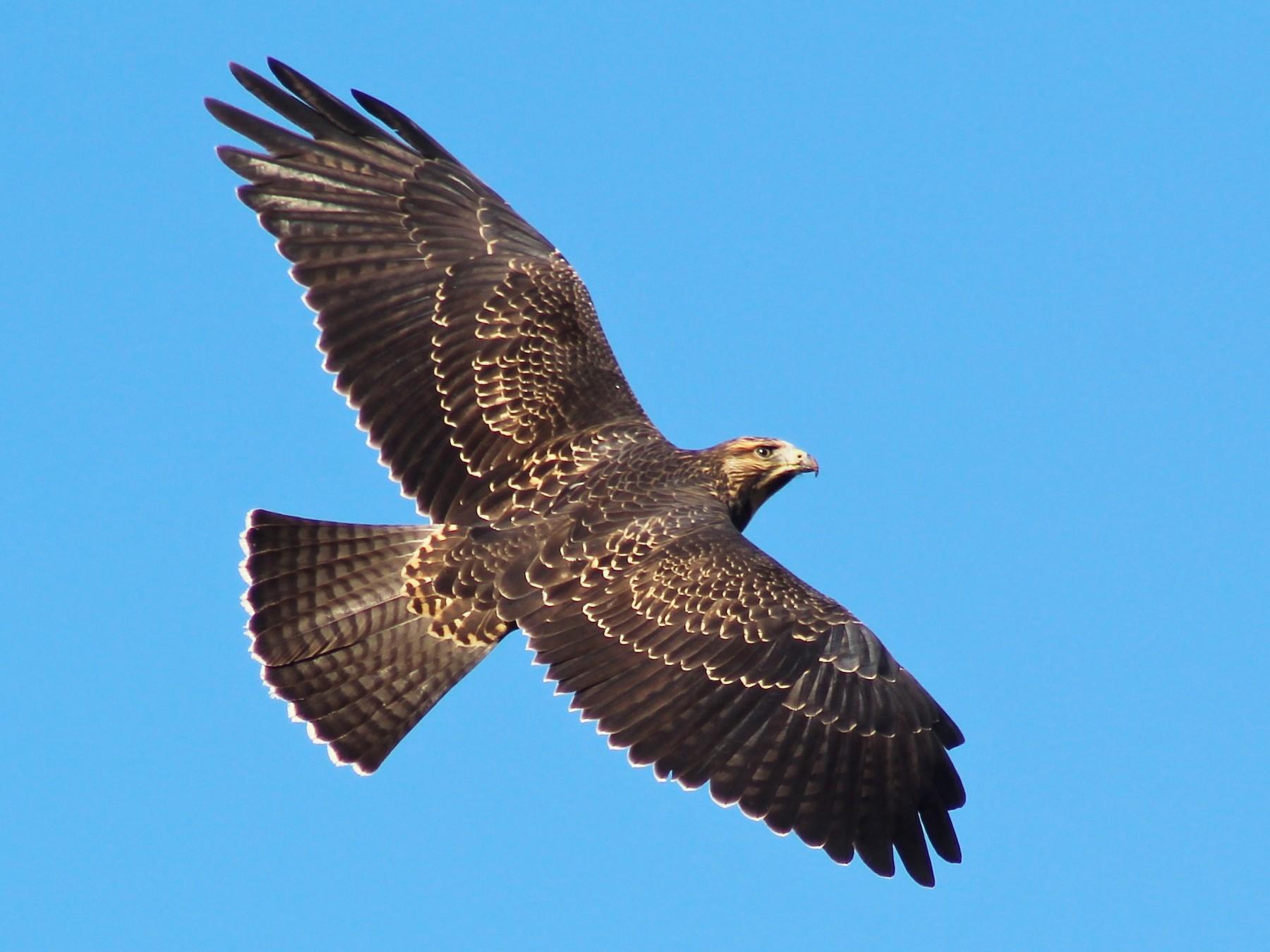 Swainson's Hawk - Cédric Duhalde