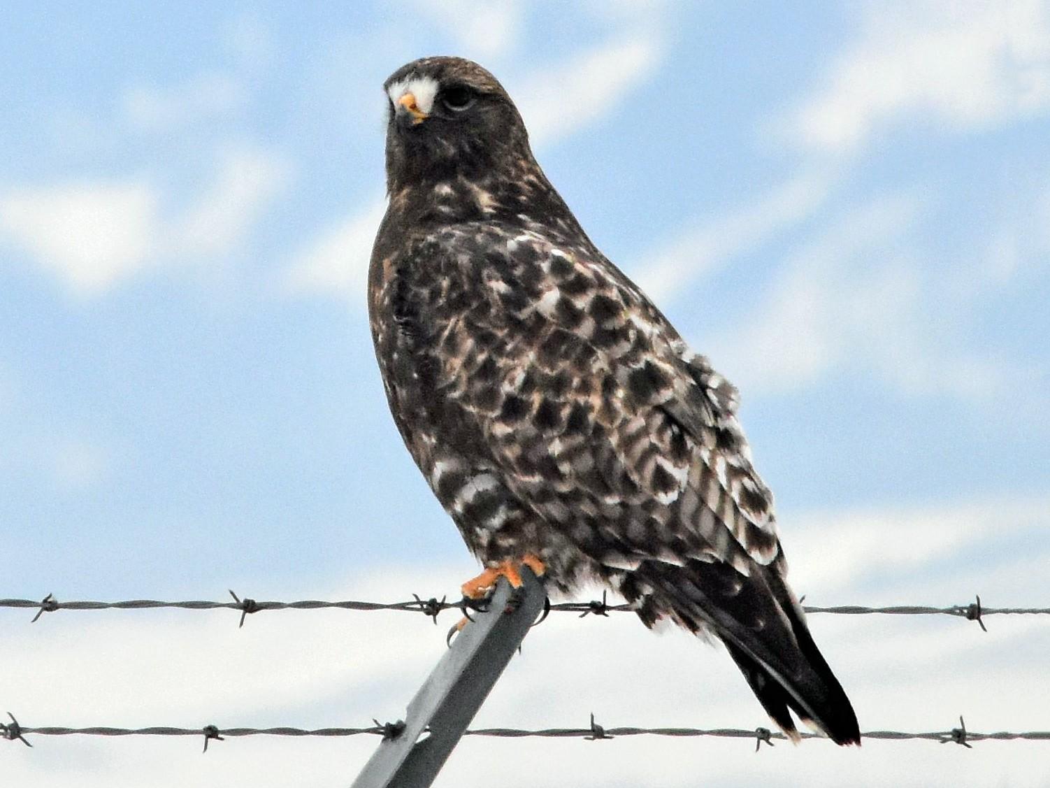 Rough-legged Hawk - Harold Ziolkowski