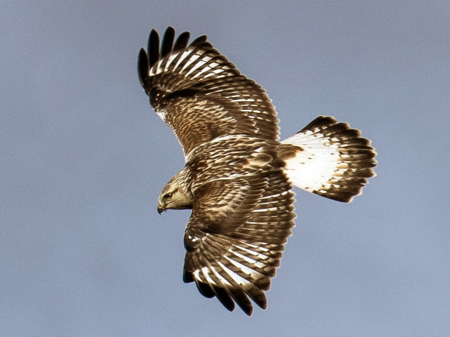 Rough-legged Hawk - Chris S. Wood