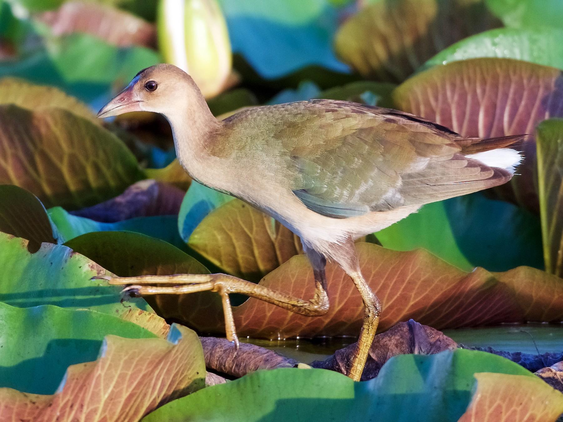 Purple Gallinule - Jamie Baker