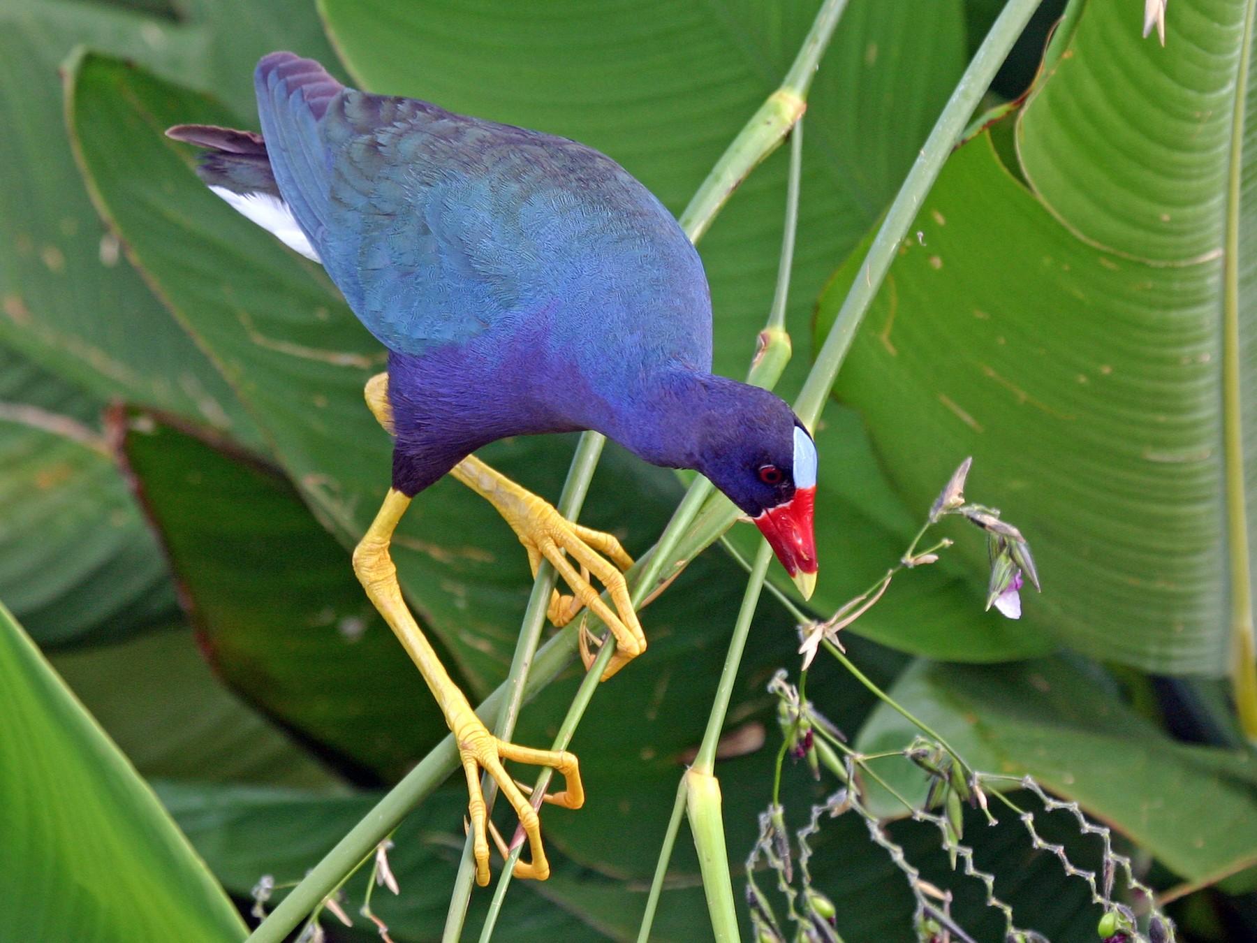 Purple Gallinule - Chris Wood