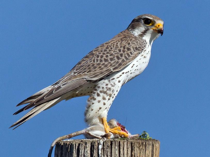Prairie Falcon - Caroline Lambert