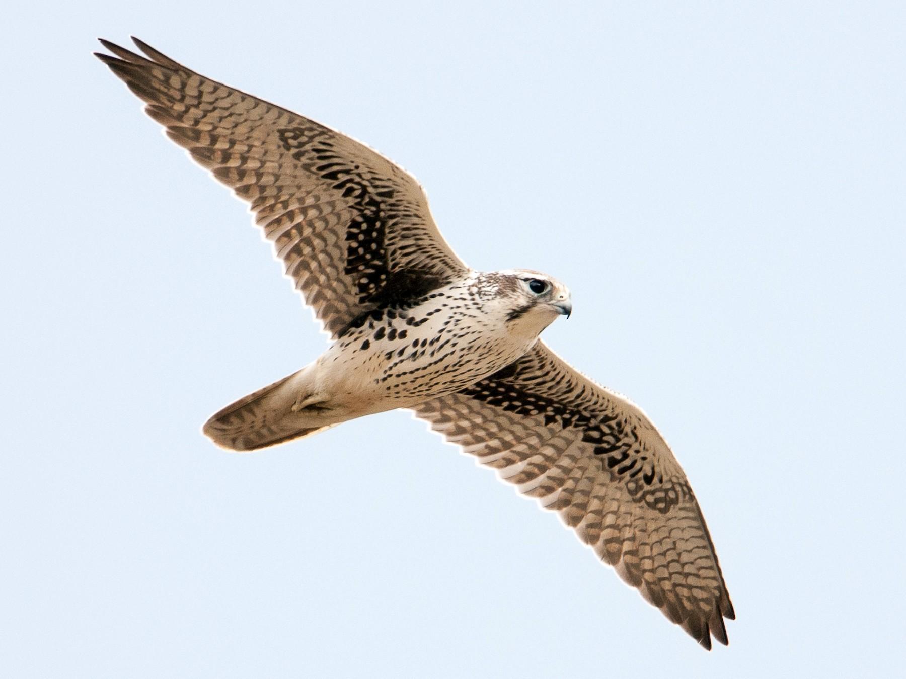 Prairie Falcon - Ian Routley