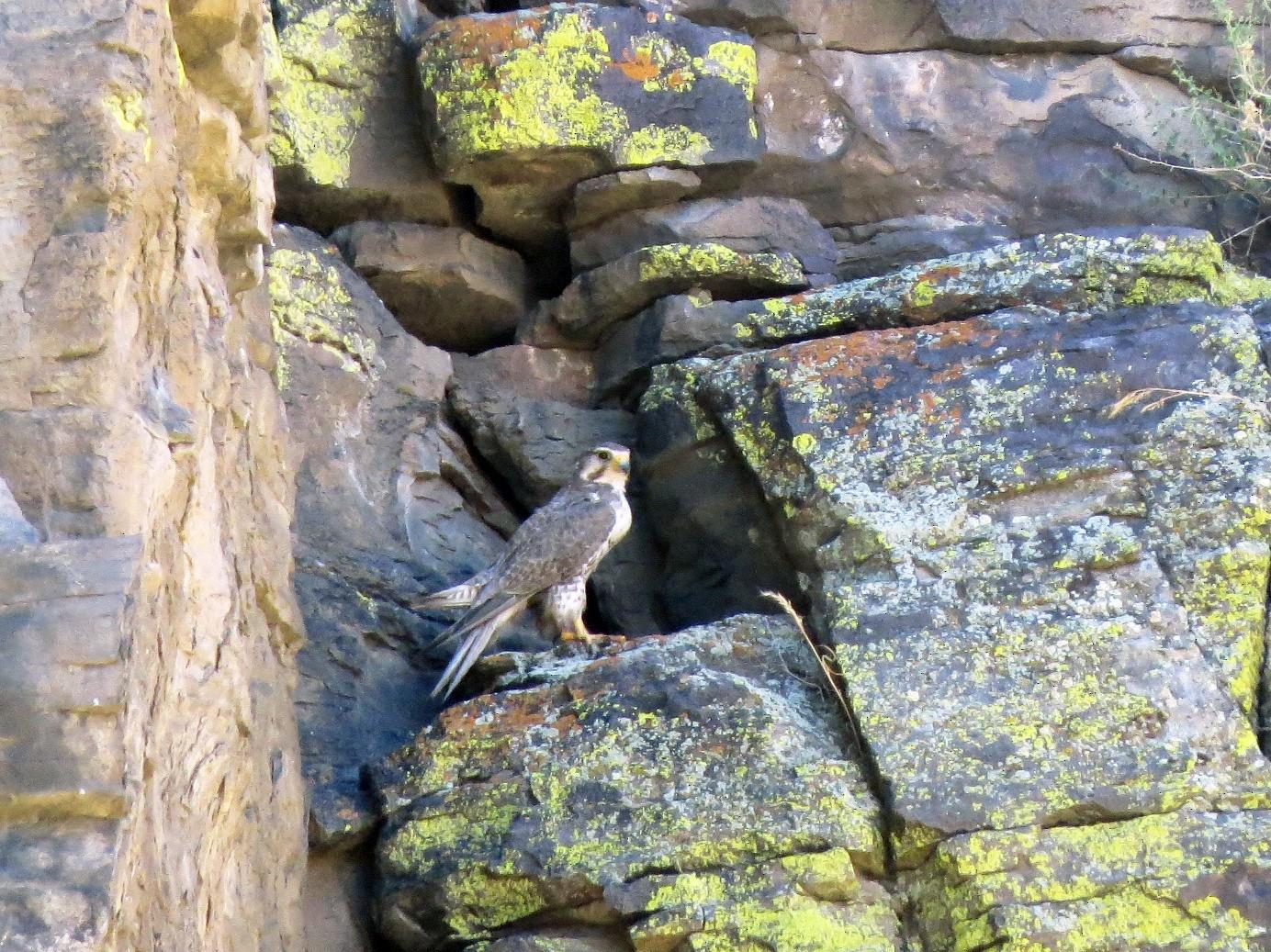 Prairie Falcon - Garth Harwood