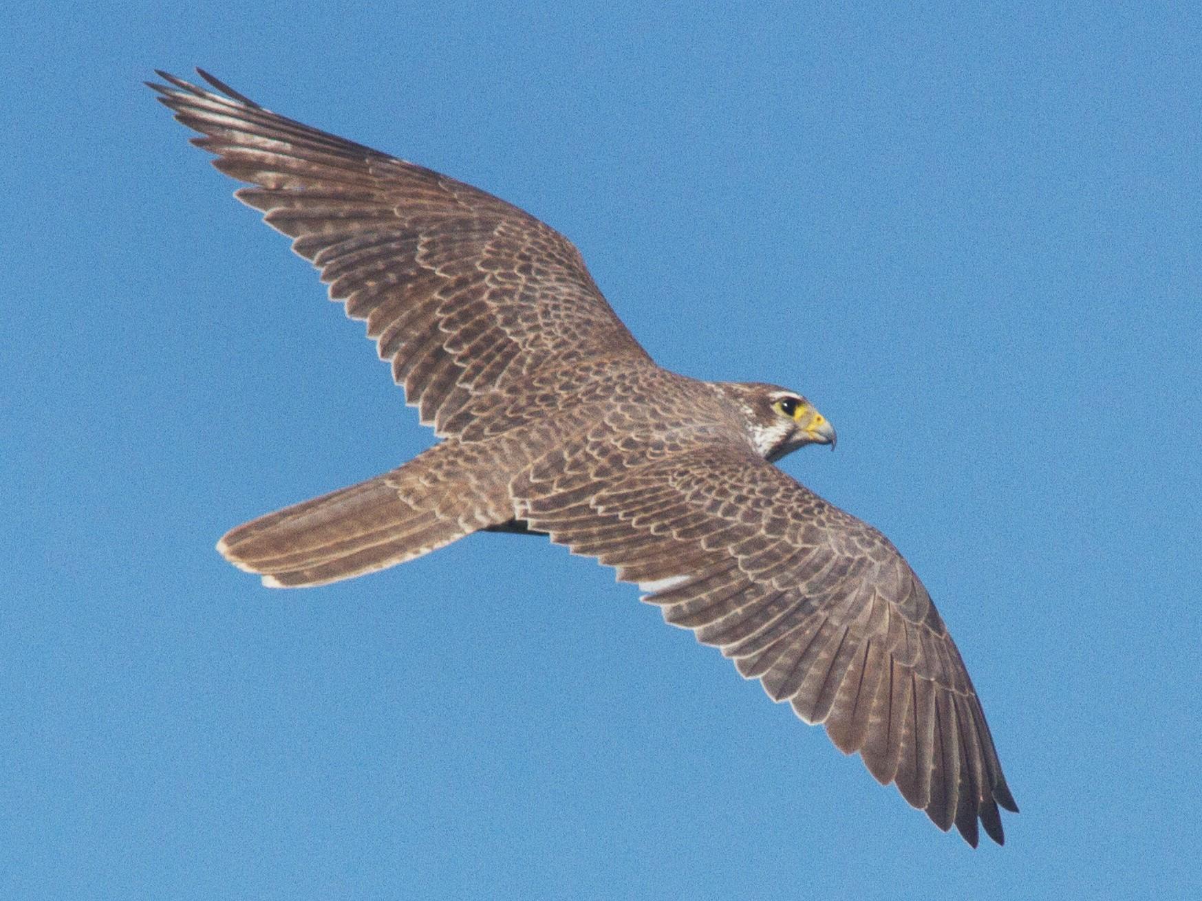 Prairie Falcon - Jimmy McMorran