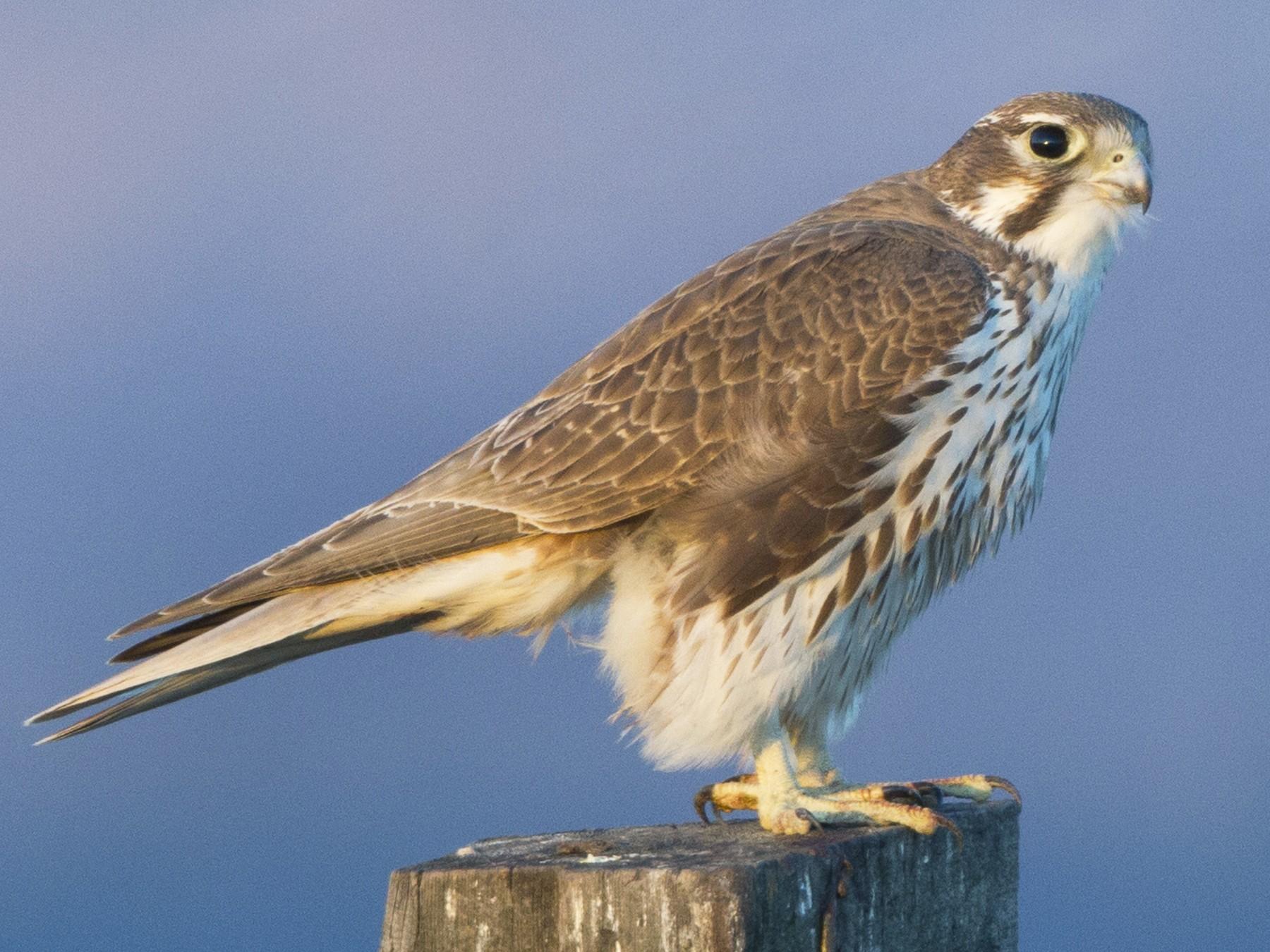 Prairie Falcon - Brian Sullivan