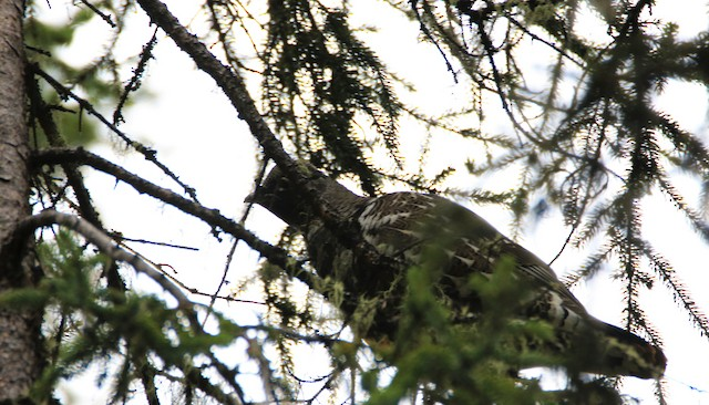Spruce Grouse (Spruce)