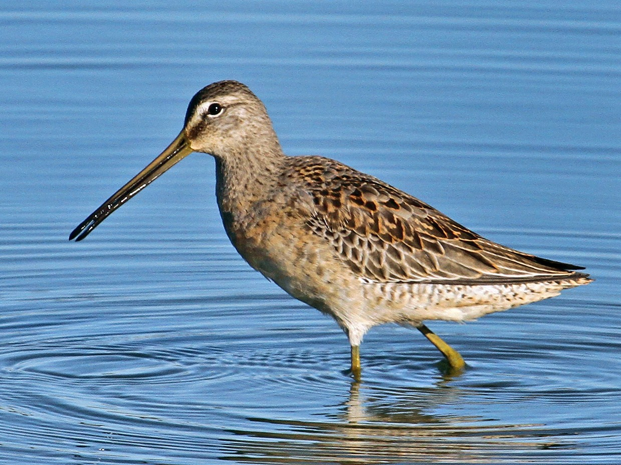 Long-billed Dowitcher - Jamie Chavez