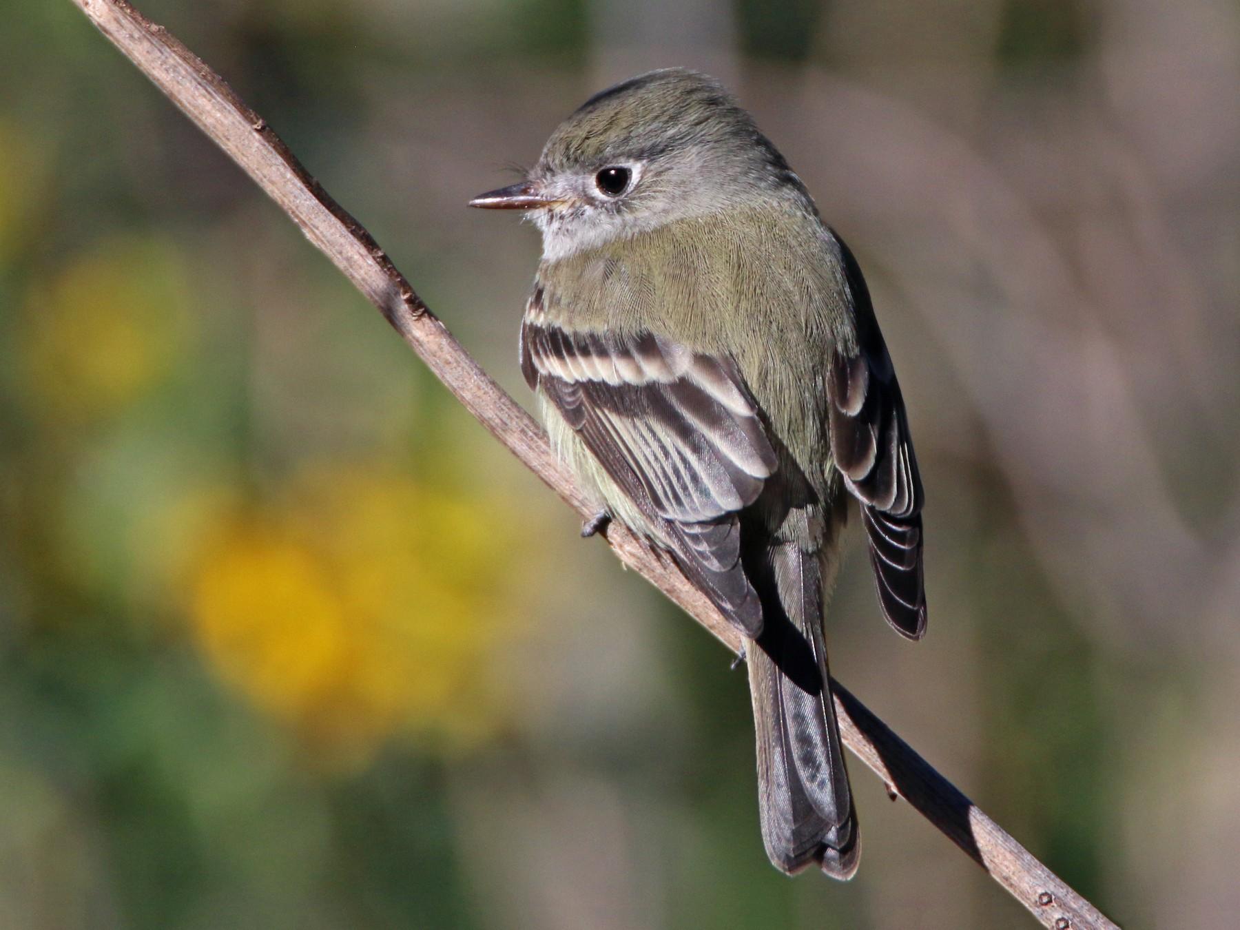 Hammond's Flycatcher - Ken Oeser