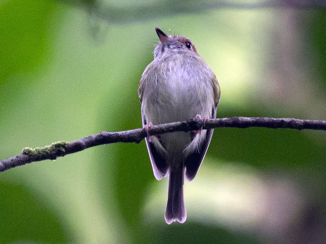 Scale-crested Pygmy-Tyrant - Chris Wood