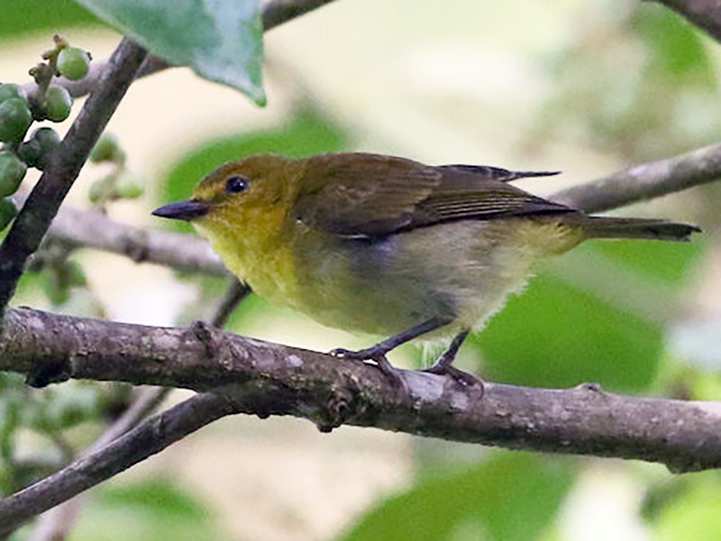 Black-and-yellow Tanager - William Hull