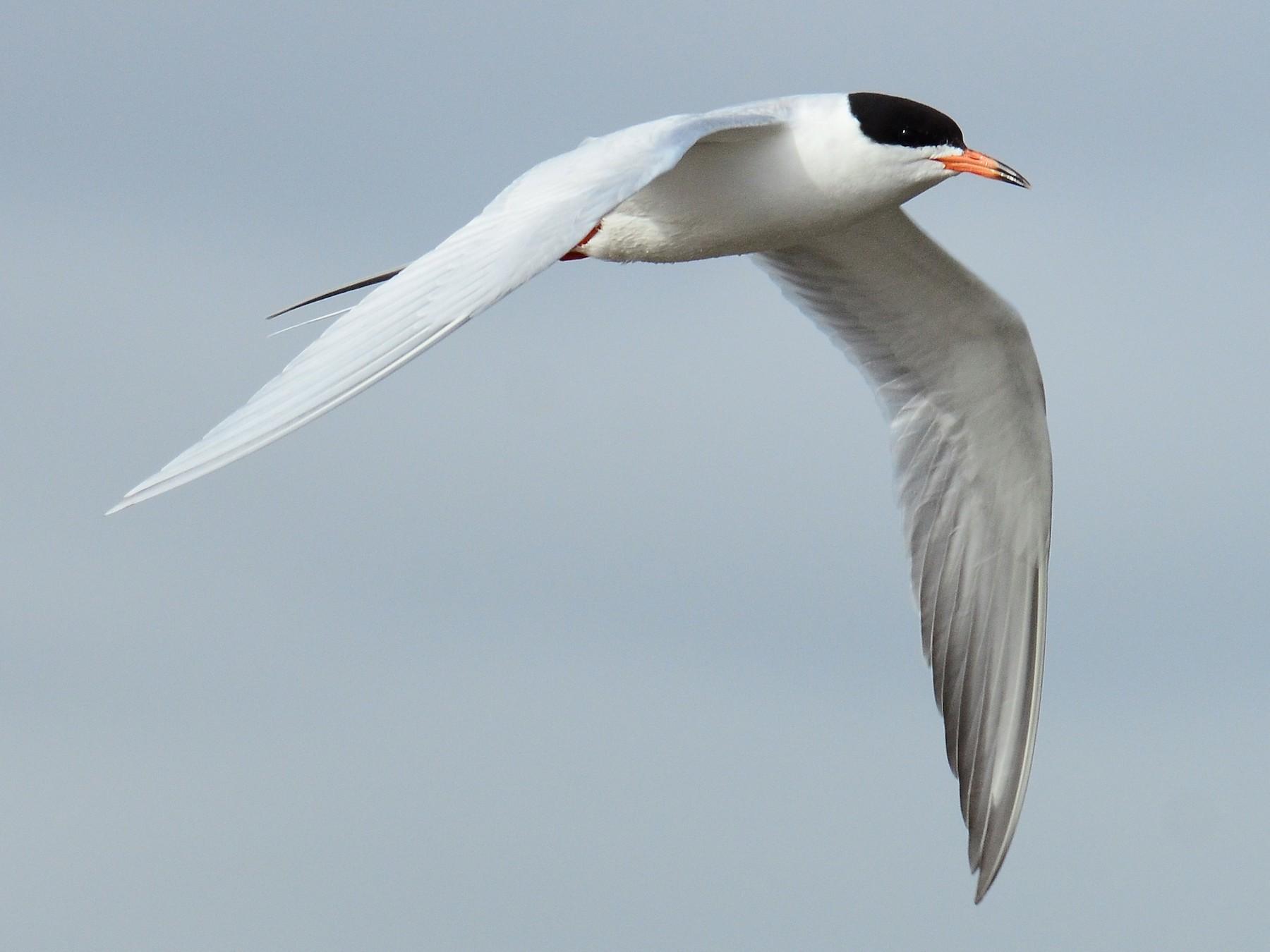 Forster's Tern - Steve Tucker