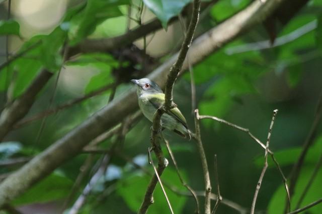 White-crowned Manakin female (presumed subspecies <em>separabilis</em>)