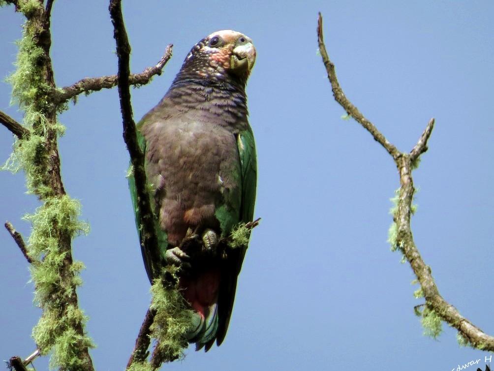 Speckle-faced Parrot - Edwar H Guarín