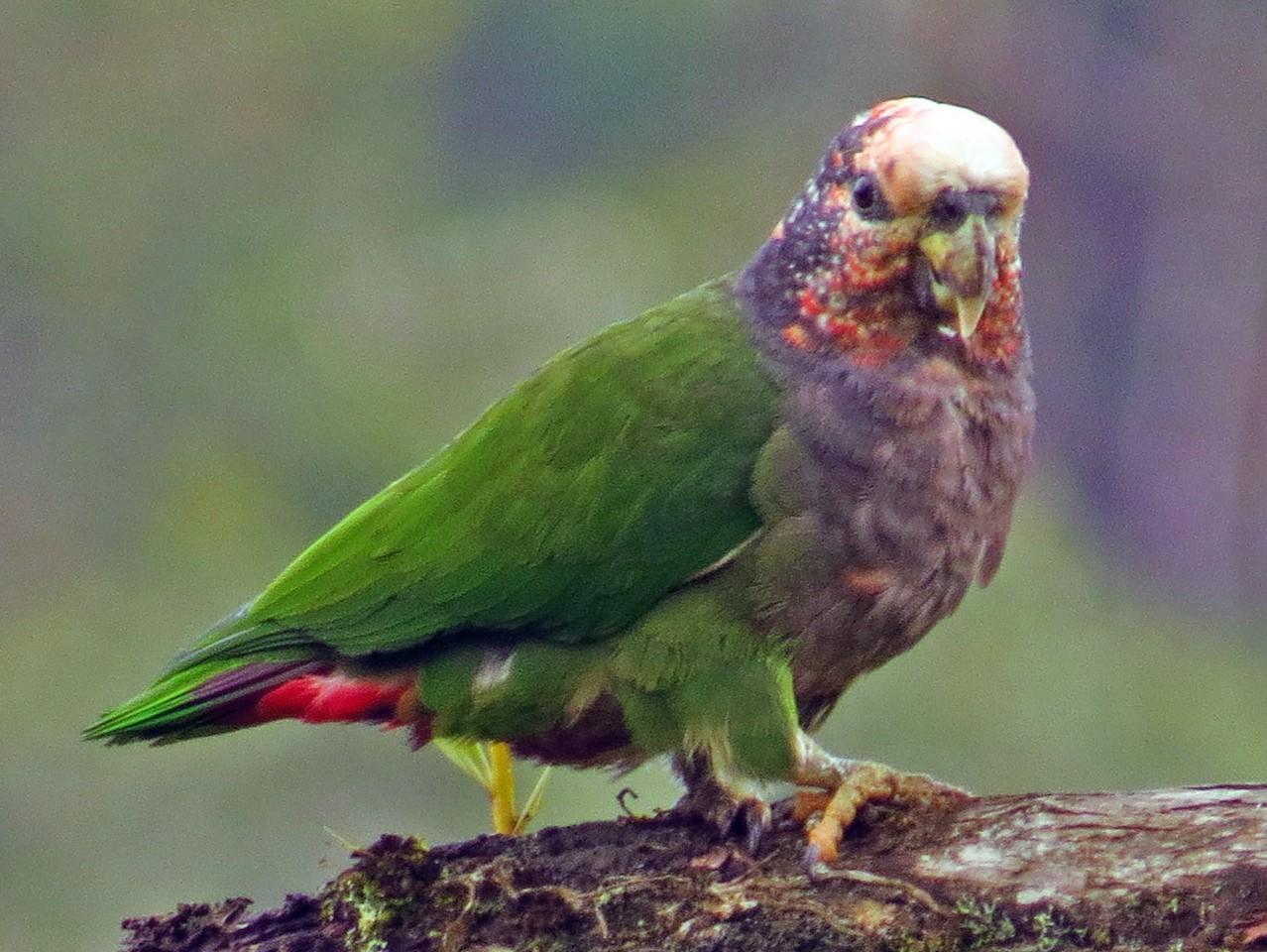 Speckle-faced Parrot - Jorge Muñoz García   CAQUETA BIRDING