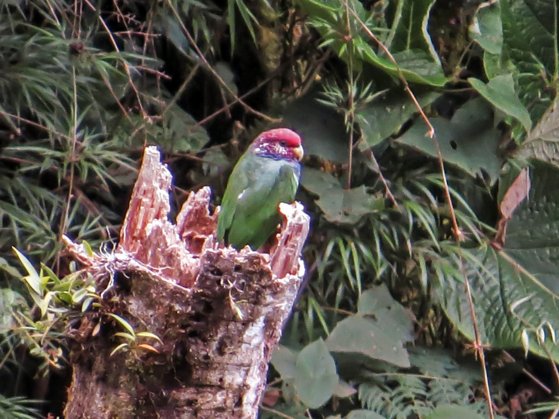 Speckle-faced Parrot - Warren Bielenberg