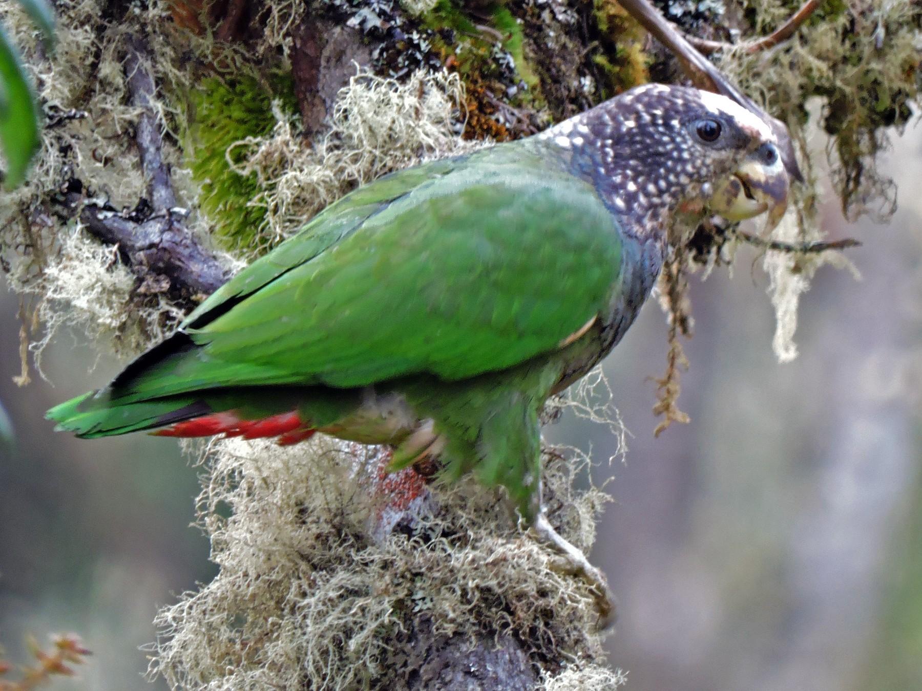 Speckle-faced Parrot - Edwin Munera