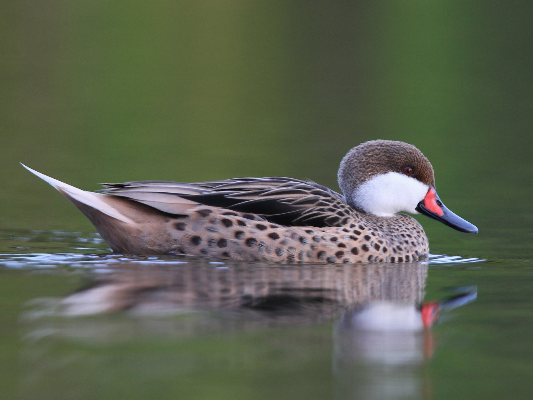 White-cheeked Pintail - Christoph Moning