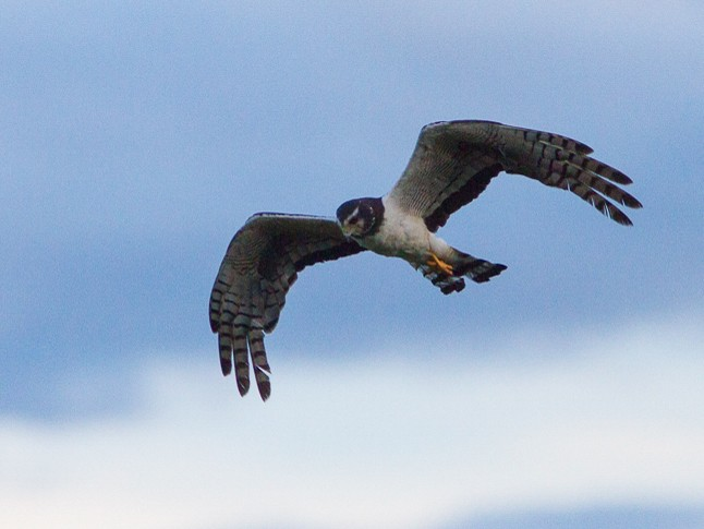 Long-winged Harrier - Silvia Faustino Linhares