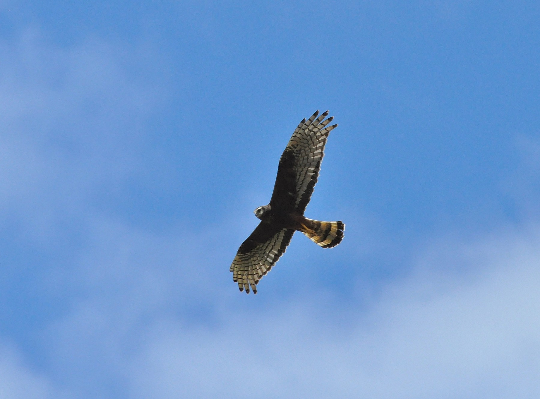 Long-winged Harrier - Fermin Zorrilla