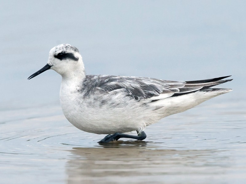 Red-necked Phalarope - David Irving