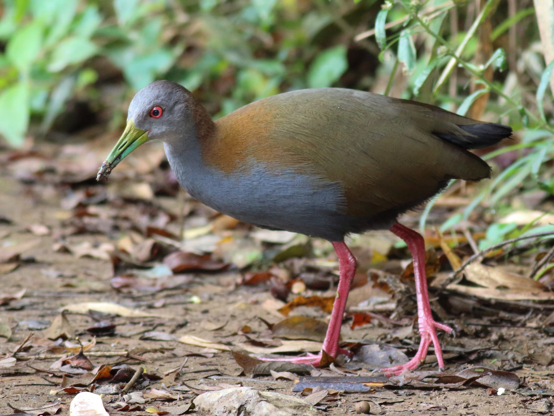 Slaty-breasted Wood-Rail - Rick Folkening