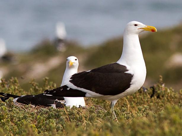 Kelp Gull - Yann Kolbeinsson