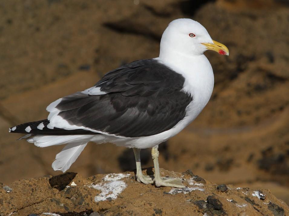 Kelp Gull - Noah Strycker