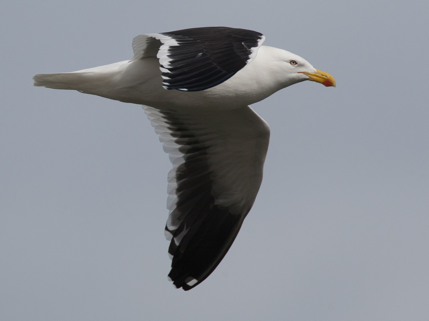 Kelp Gull - Chris Wood