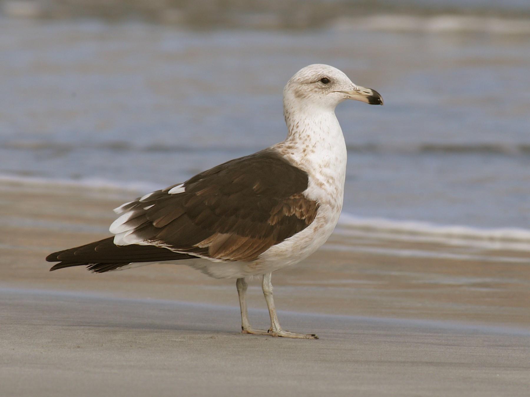 Kelp Gull - Etienne Artigau