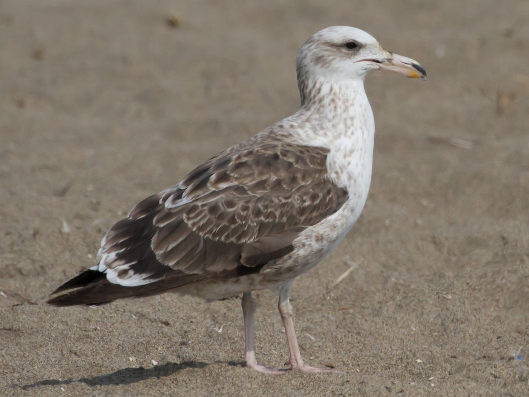 Kelp Gull - Cullen Hanks