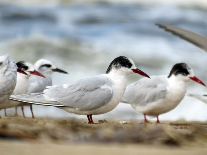 South American Tern - Birdwatching Punta del Este