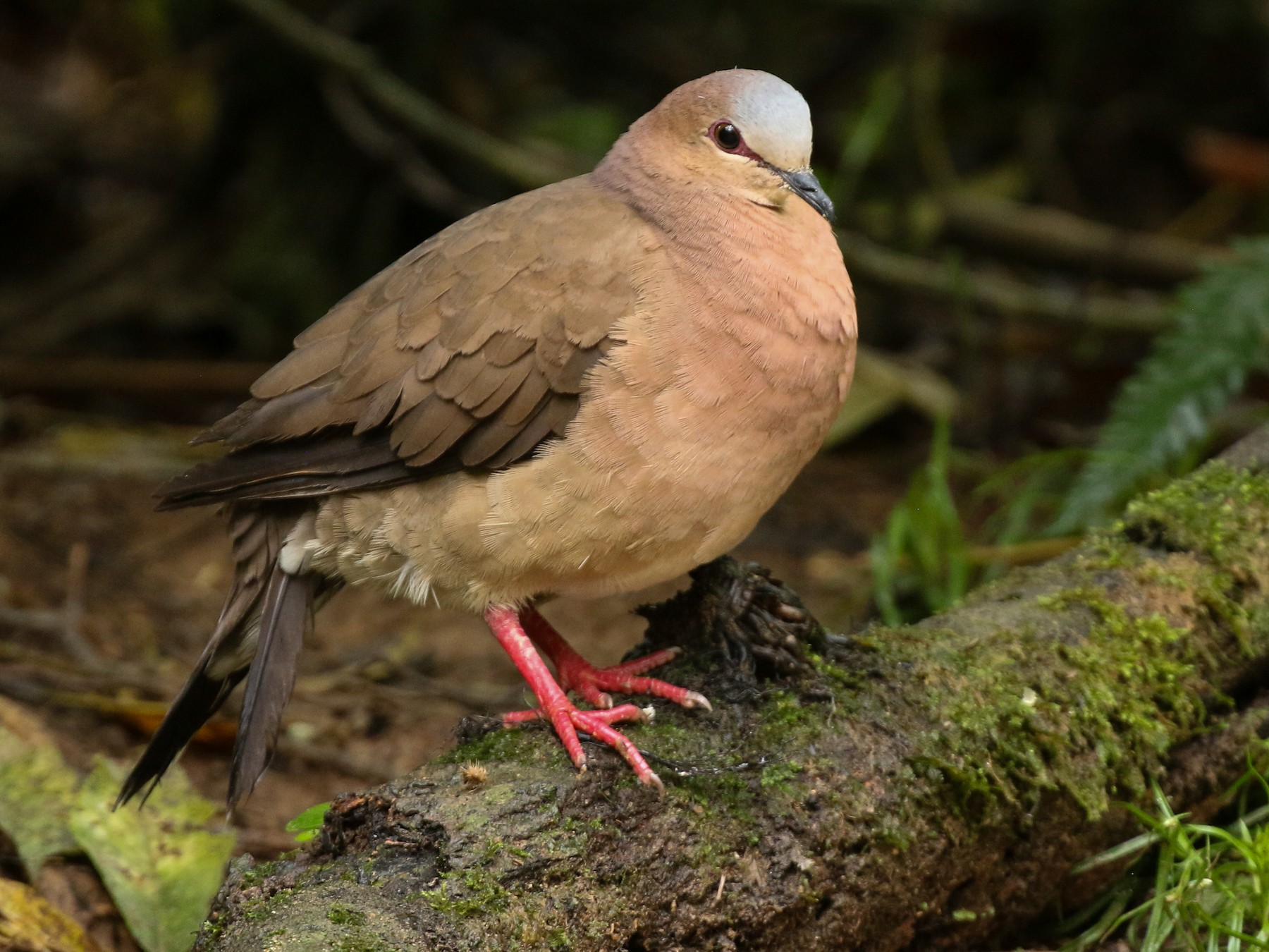 Gray-fronted Dove - Tommy Pedersen