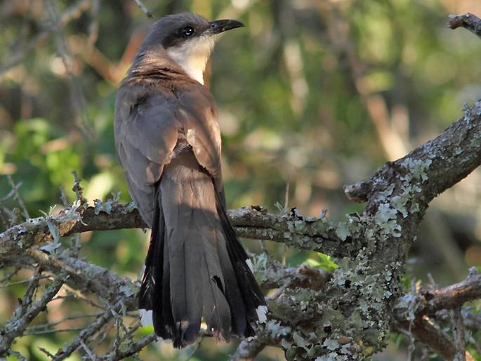 Dark-billed Cuckoo - Ramiro Ramirez