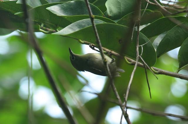 Seychelles White-eye