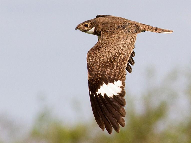 Nacunda Nighthawk - Diego Oscar / Sandpiper Birding & Tours