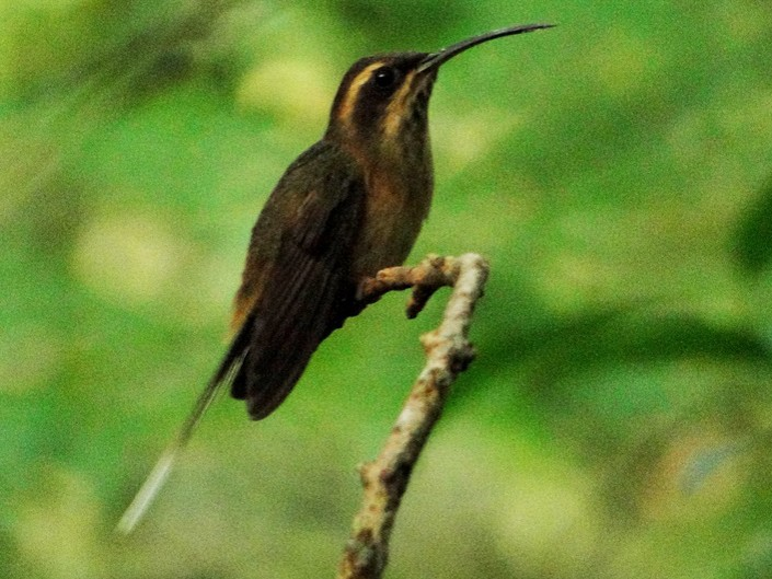 Dusky-throated Hermit - Carlos Gussoni