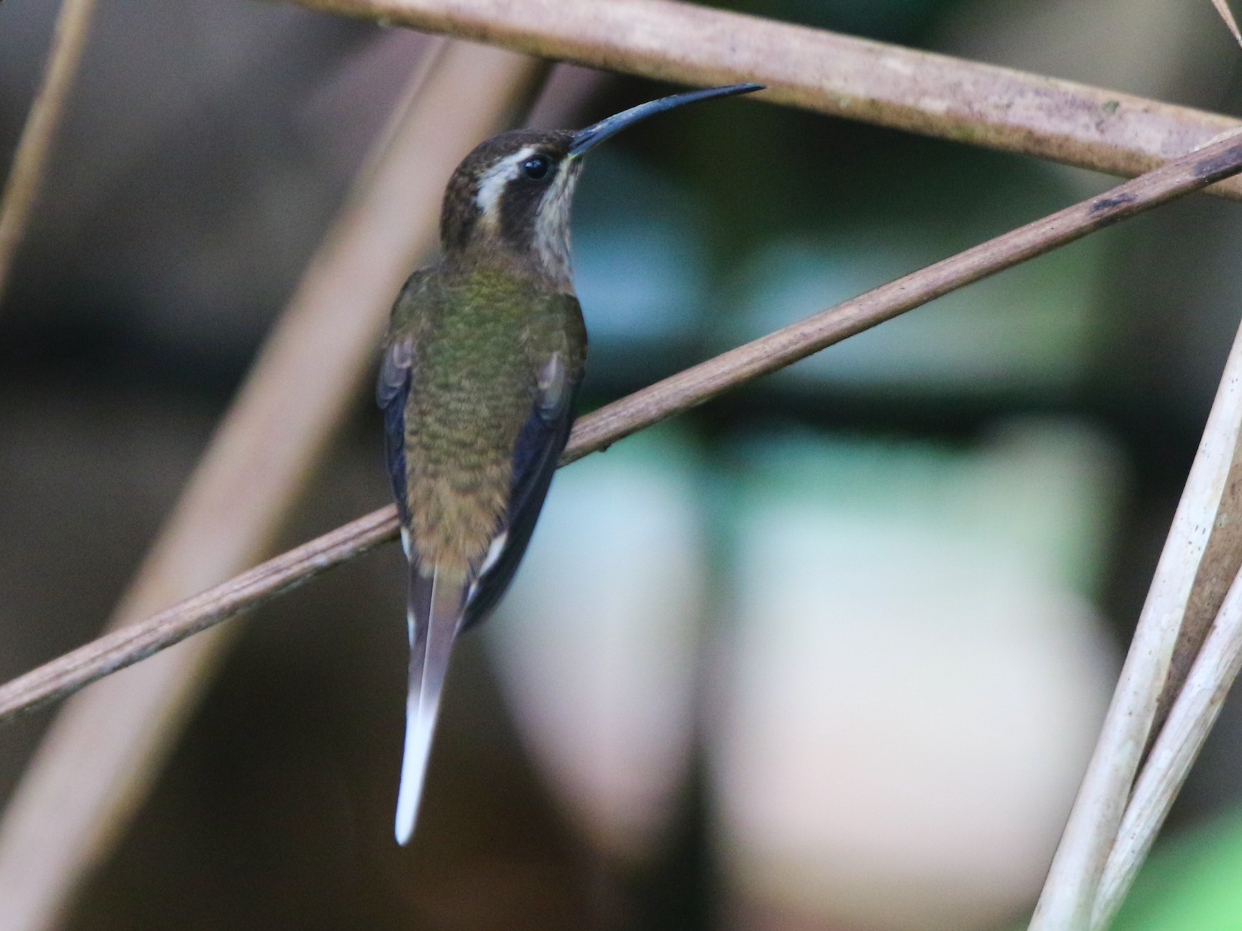 Dusky-throated Hermit - Thompson Ian