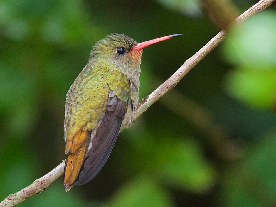 Gilded Hummingbird - Luiz Matos