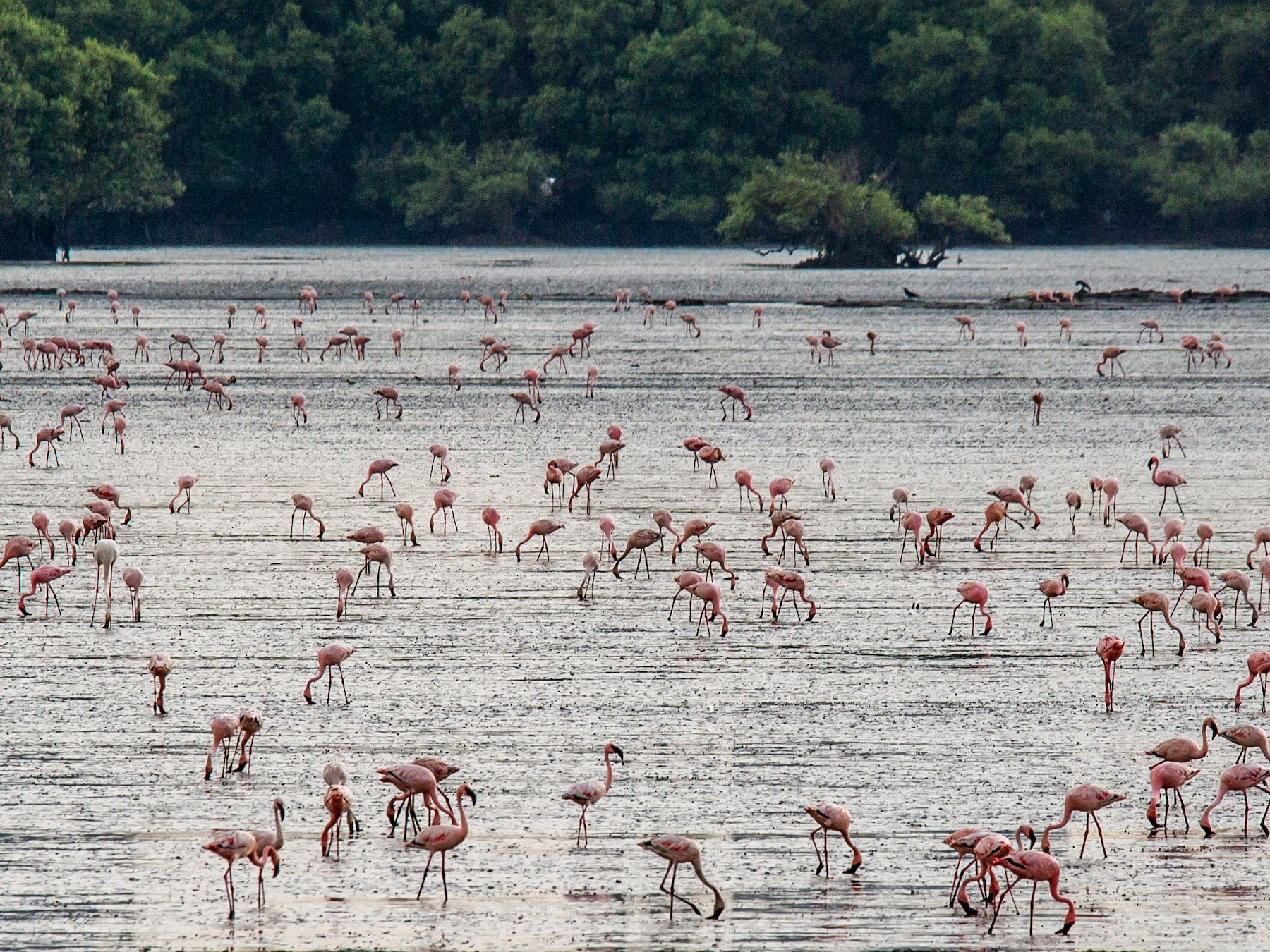 Lesser Flamingo - Anonymous eBirder