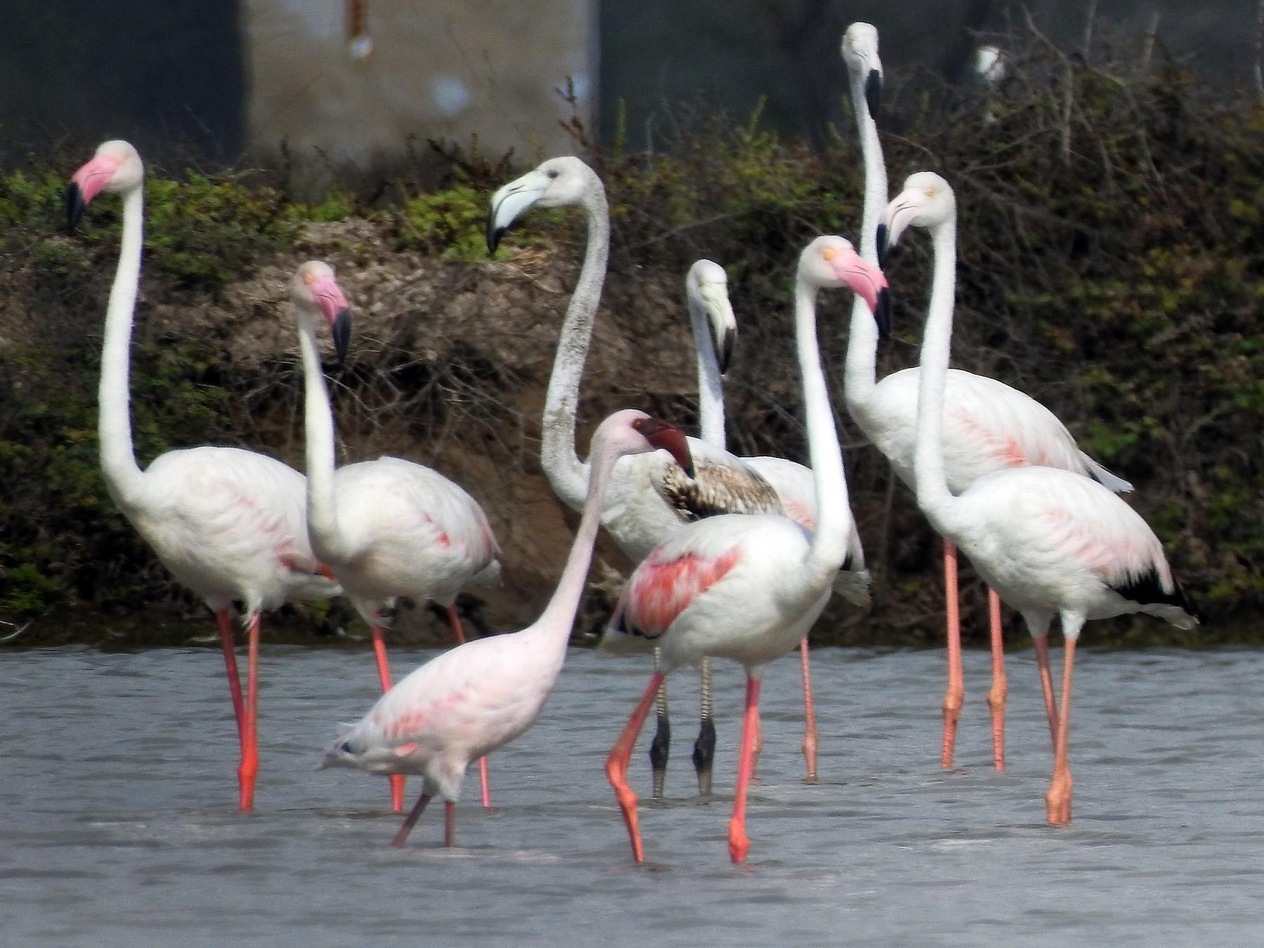 Lesser Flamingo - sakthi manickam