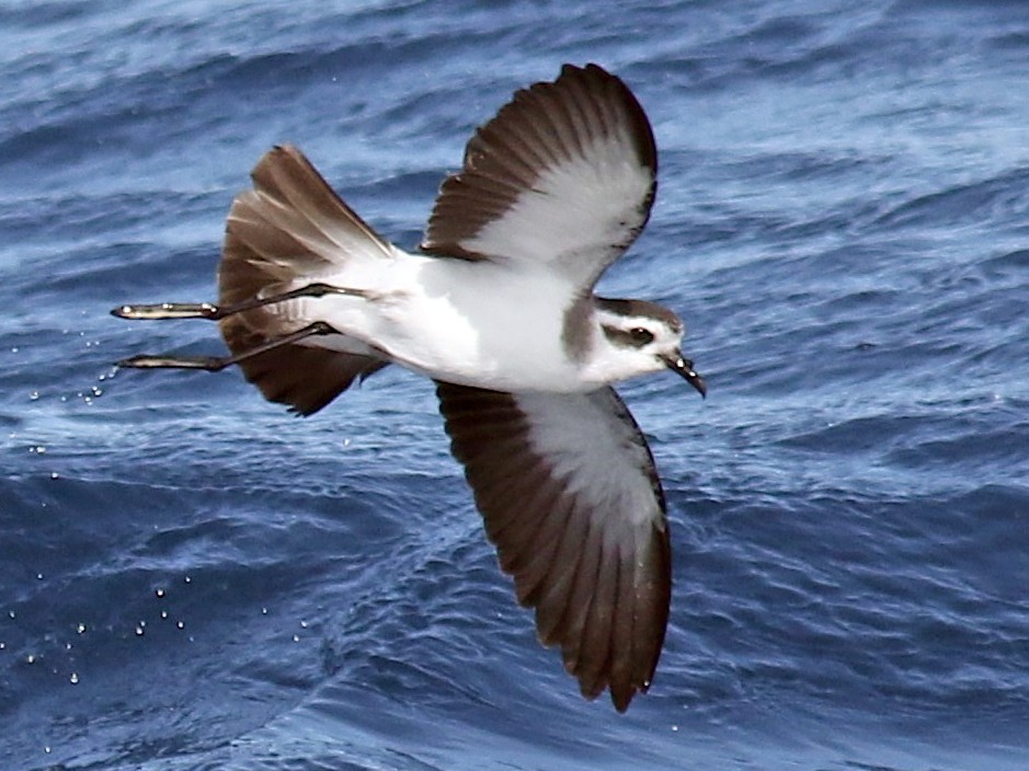 White-faced Storm-Petrel - Andrew  Dreelin