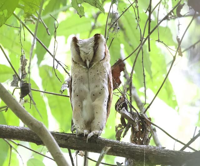 Sri Lanka Bay-Owl