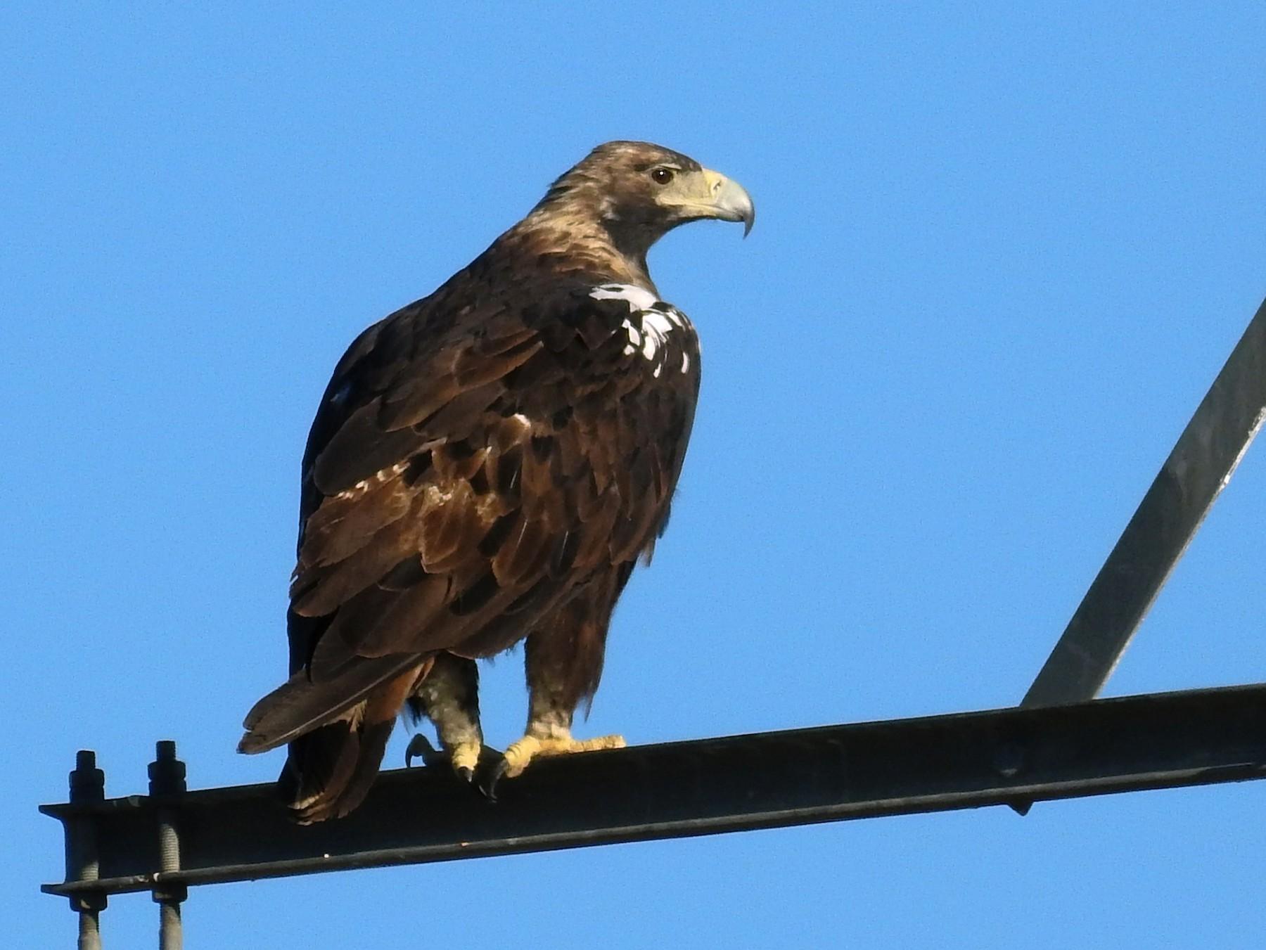 Spanish Eagle - Francisco Fernandes