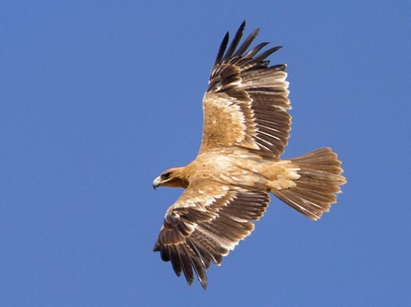 Spanish Eagle - Yeray Seminario