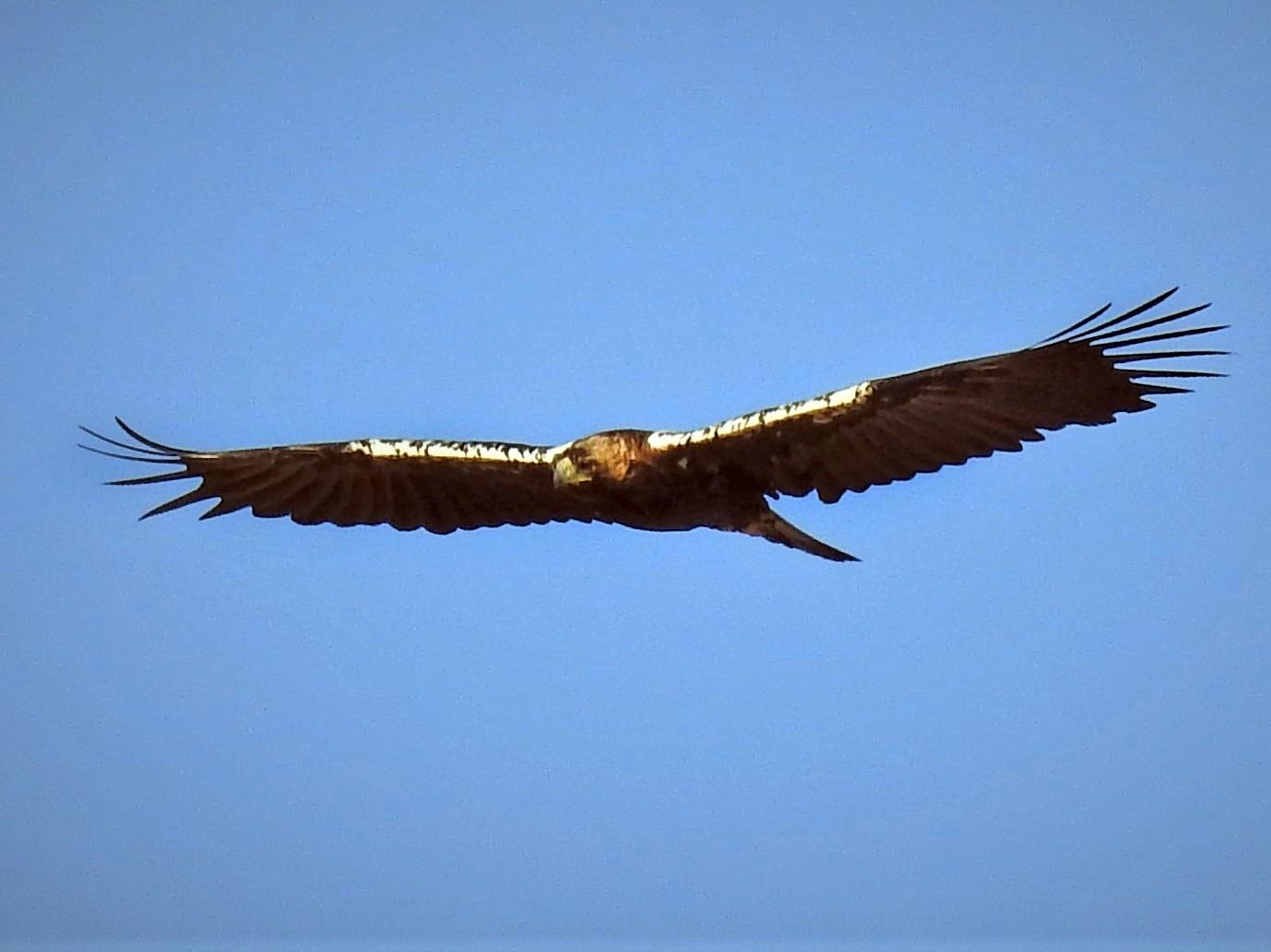 Spanish Eagle - Eugenio Collado