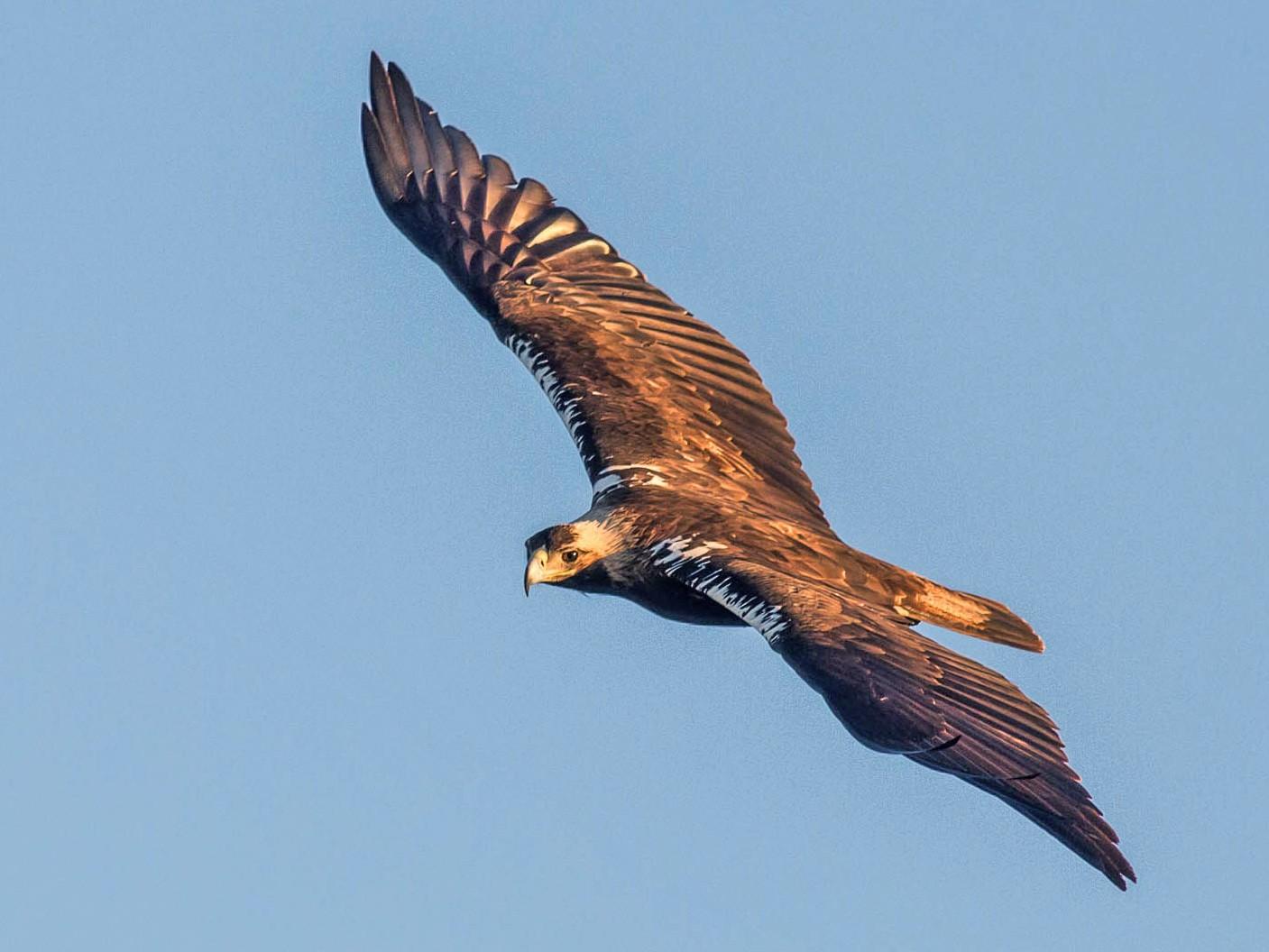 Spanish Eagle - Antero Topp