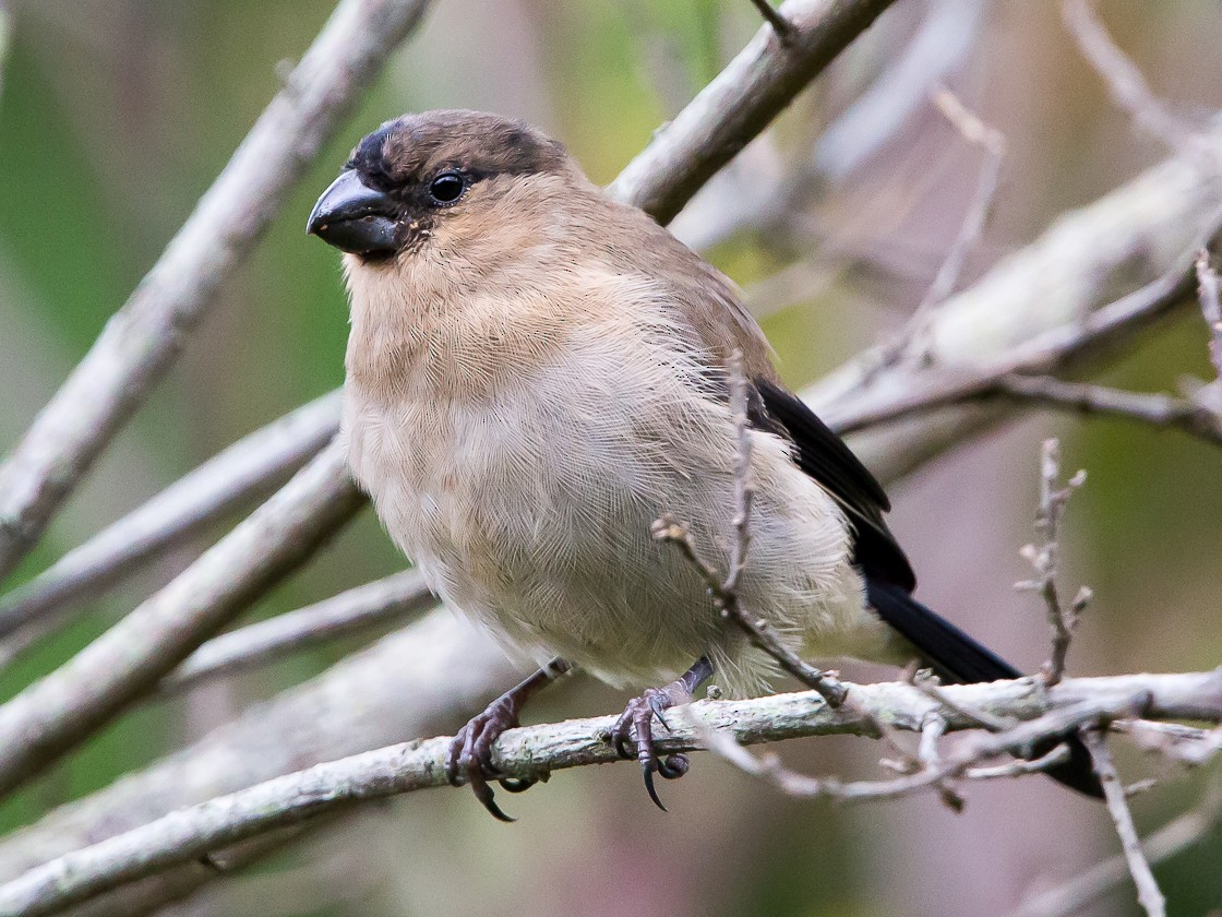 Azores Bullfinch - Otto Samwald