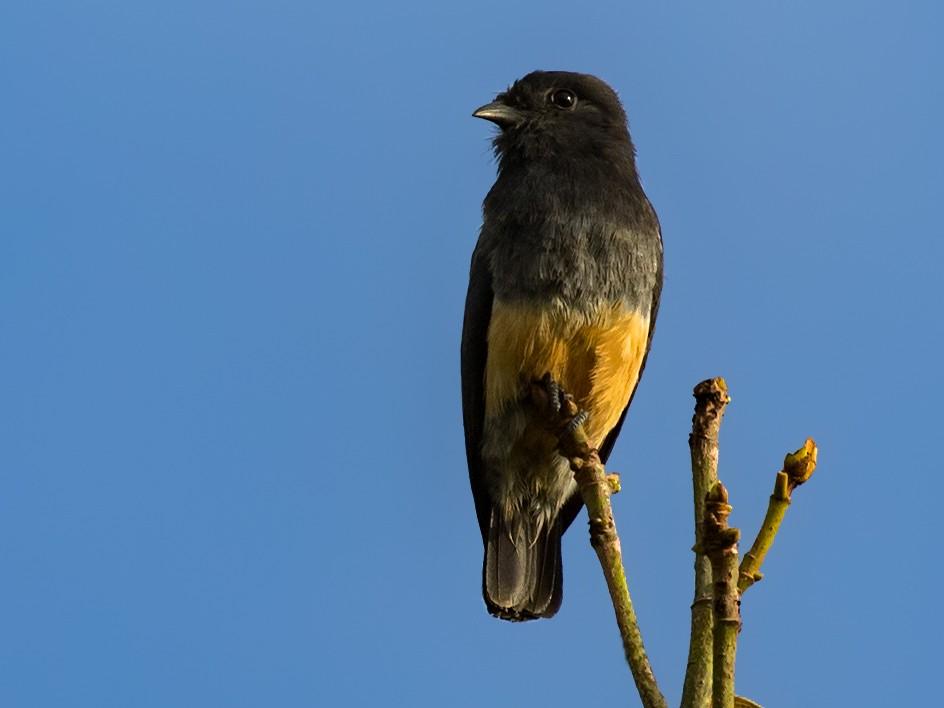 Swallow-winged Puffbird - Kacau Oliveira